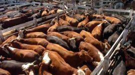 Liniers: fuerte demanda por las vacas, que cerraron con buenos valores