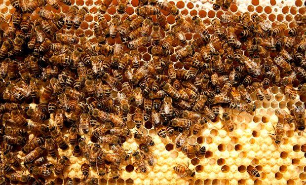 Recomendaciones para productores apícolas ante la presencia de langostas.