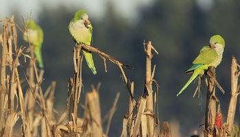 Piden destruir nidos de cotorras para evitar daños en cultivos