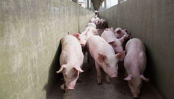 Alerta por Venezuela: Senasa pidió información por la llegada de cerdos rusos