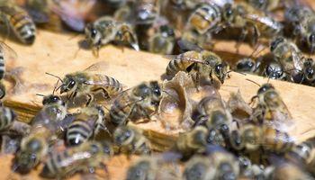 Apicultura: cómo prevenir varroosis en las colmenas