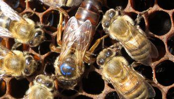 Partió rumbo a Francia una carga de abejas reina, área en la que la Argentina es líder mundial