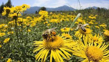 Cae población de abejas e impacta en los cultivos