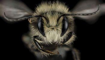 Limpieza y canibalismo: con videos, muestran detalles desconocidos de la abeja melífera
