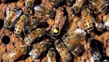 De cazador de enjambres, a criador de abejas reina