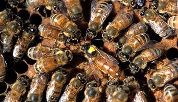 Arribaron 35 abejas reinas españolas para potenciar la producción apícola