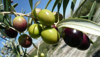 Proyectan una baja de 40% en la producción de aceitunas en Mendoza
