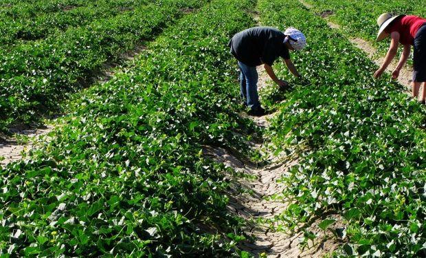 Resoluciones MTEySS 336/2002 y 8/2002 regulan la contratación de trabajadores rurales a través de bolsas de trabajo.