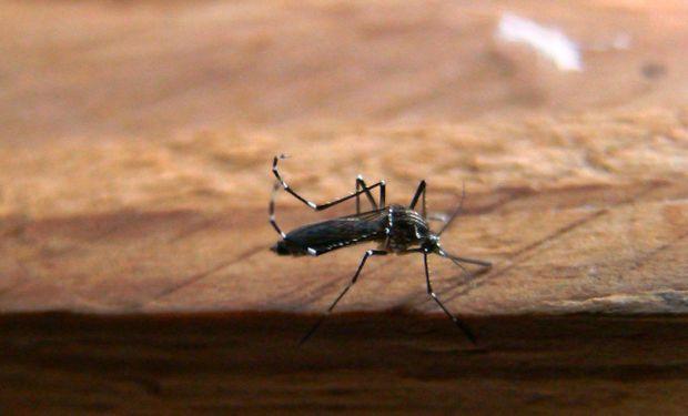 Mosquito vector Aedes Aegypti.