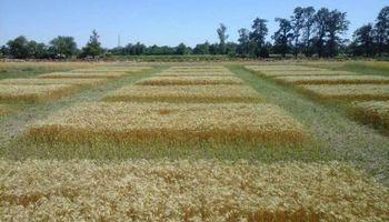 Mejoran rindes en cultivos fertilizados con efluentes tratados