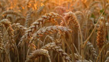 Por el cepo, los argentinos van a sembrar trigo a Uruguay