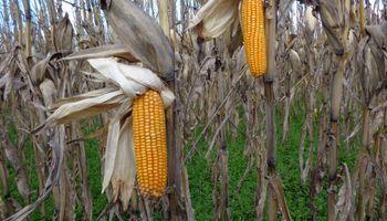 Cultivos de cobertura, siembra directa y rotación: los indicadores que definen a la agricultura argentina