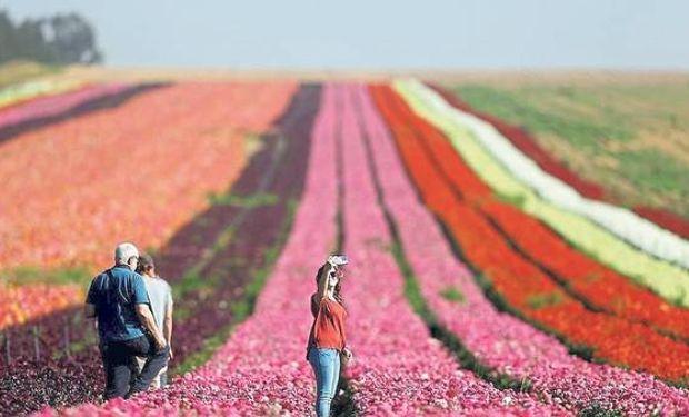 Con riego se transformó una zona muy árida en un campo de flores, cerca de Gaza.