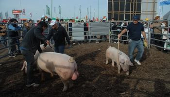 Los cabañeros de cerdos siguen apostando a AgroActiva