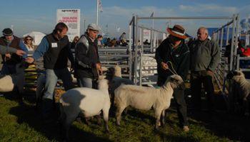 Ovinos y caprinos presentes en el sector ganadero de AgroActiva