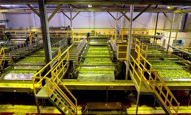 La fábrica puede procesar hasta 1000 toneladas diarias de limón. Foto: La Moraleja