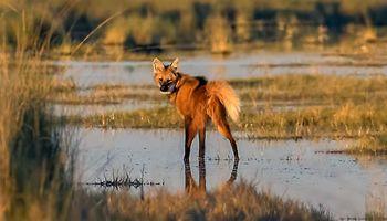 Aguará Guazú: un animal en extinción en plena cosecha de arroz