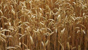 Se ajusta a la baja la intención de trigo
