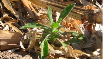 Alerta por posible resistencia de rama negra a herbicidas inhibidores de ALS