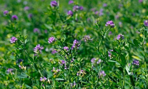 Solicitaron la inscripción de una nueva variedad de alfalfa resistente a bacteriosis