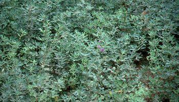 Fertilización de Alfalfa y Pasturas Permanentes