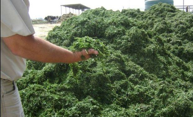 Conseguir más plantas permite también tener más materia verde por hectárea. Foto: Diario Clarín.