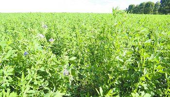 En la cuenca lechera, la alfalfa está de regreso