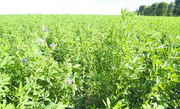 La alfalfa es un cultivo perenne. Por eso, una inversión a futuro.