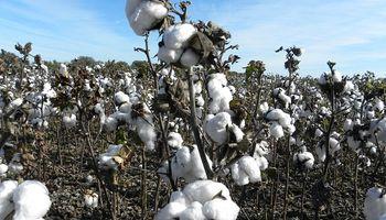 Preocupa en Chaco la gran presencia de picudo algodonero