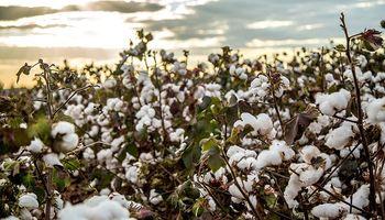 Se presentó un nuevo algodón resistente a la lagarta rosada