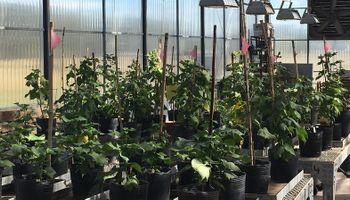 Obtienen plantas transgénicas de algodón resistentes al picudo