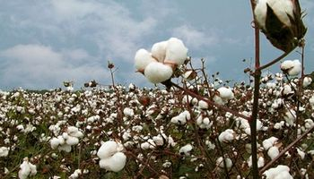 Piden destruir los rastrojos de algodón  para combatir el picudo del algodonero