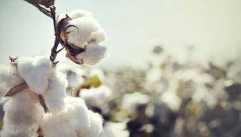 Algodón: una producción en crisis que este año apenas alcanzaría para la industria local