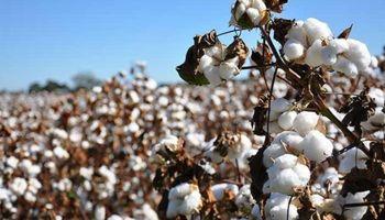 Algodón: una sola variedad pone en riesgo a toda la producción