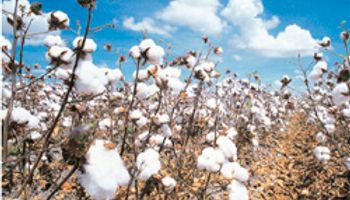 Alerta en Chaco por plaga que destruye al cultivo de algodón