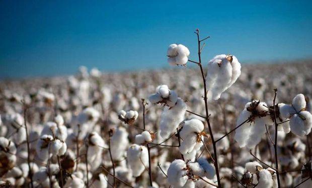 Aporte de 18 millones de pesos para la producción algodonera.