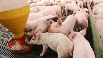 Buscan eliminar el uso de antibióticos en la alimentación del ganado porcino