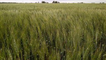 El calor puso al trigo entre las cuerdas en la zona núcleo