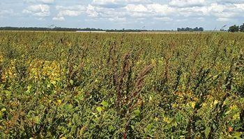 El yuyo colorado afecta 16 millones de hectáreas en tres provincias