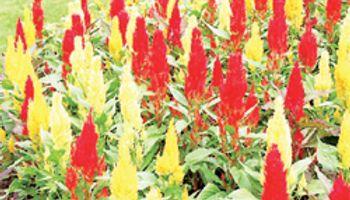 Amaranto: ¿Una maleza o cultivo de alta rentabilidad?