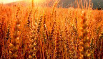 Harán análisis gratuitos de trigo pan en Quequén
