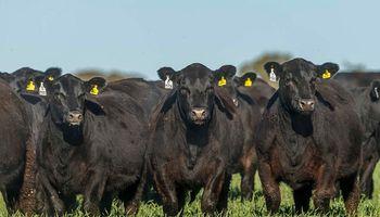Argentina ayudará a España a mejorar la raza bovina Angus