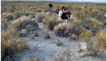 Buscan salvar al ganado afectado por la ceniza
