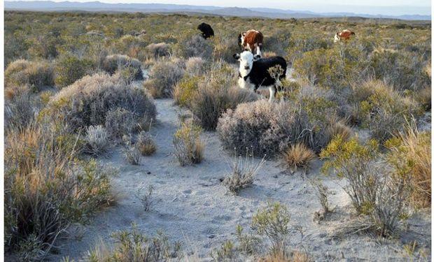 Si los animales no eran trasladados morirían, situación que perjudicará de gran manera a los crianceros de ganado de la cordillera.