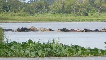 La crecida del Paraná obliga a mover a la hacienda