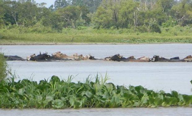 Crecida del Paraná obliga a mover a la hacienda.