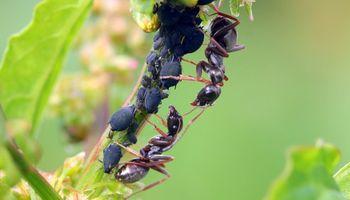 Tres estrategias para alejar a las hormigas negras de las huertas y jardines