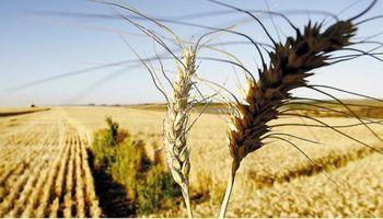 Inminente anuncio sobre recorte de retenciones para el trigo
