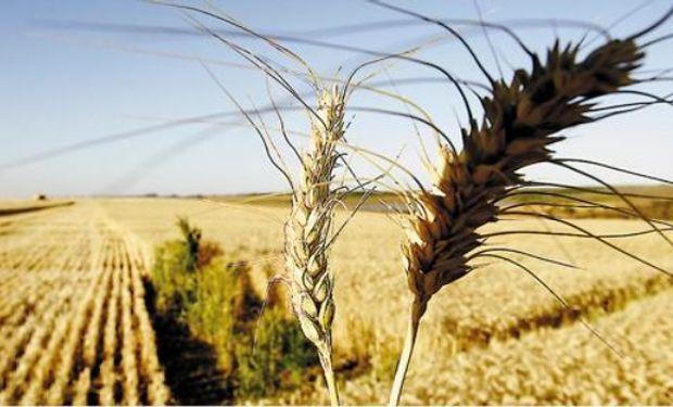 El trigo de primavera en Estados Unidos tendría las mejores perspectivas en 21 años de cara a la cosecha.