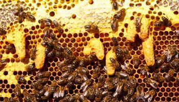 Varroasis: enfermedad que daña a la apicultura